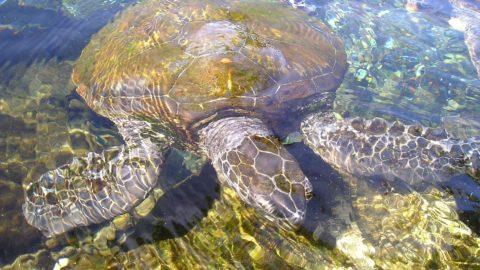 Meeresschildkröten Samoa