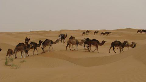 Kamele in Djerba, Tunesien